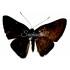 Emesis (temesa peruviana sp.) (F)