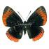 Lyropteryx Appollonia (F)