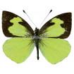 Leptophobia Eleone Eleone (M)