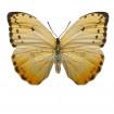 Phoebis Philea (F)