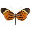 Melinaea Menophilus Menophilus (F)