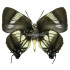 Panthiades Aeolus (M)