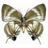 Panthiades Aeolus (F)