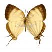 Laothus (thecla) Gibberosa (F)