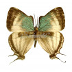 Laothus (thecla) Gibberosa (M)