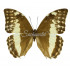 Morpho Uraneis Eugenia (F)