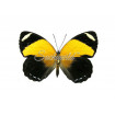 Callicore Cynosura Cynosura (F)