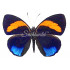 Callicore Excelsior sp. (M)