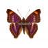 Doxocopa Pavon (M)