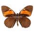 Papilio Euterpinus (M)