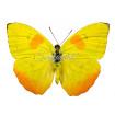 Phoebis Philea (M)