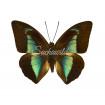 Prepona Licomedes (M)
