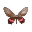 Parides Neophilus Olivencius (F)