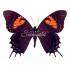 Papilio Cacicus Inca (F)
