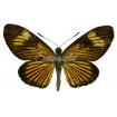Castnia (Riechia) Acraeoides (U)