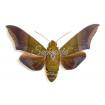 Oryba Achemenides (M)