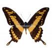 Papilio Thoas (M)