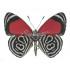 Diaethria Clymena (M) Whole Sale Pack (100)