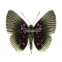 Lyropteryx Apollonia (M) Whole Sale Pack (30)