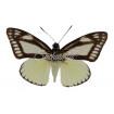 Castnia Cronis Spp (U)
