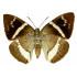 Castnia Licus (U)