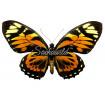 Papilio Zagreus Batesi (M)