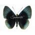 Lyropteryx Appollonia (M)