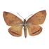 Castnia Athis Rutila (M, A1)