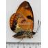 Castnia Athis Fuscorubra (M, A1)