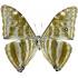 Morpho Adonis Major (huallaga) (rare) (F)