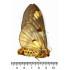 Poodle Moth Unidentified (U, A1)