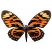 Papilio Zagreus Batesi (F)