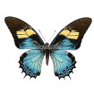 Papilio Androgeus (F)