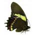 Papilio Aristeus Bitias (F)