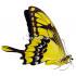 Papilio Thoas (F)