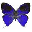 Brevianta Ematheon (M)